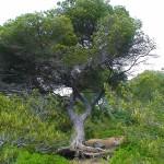 Menorca_Baum_Dünen