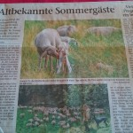 Sommergäste_Albrechts_Schafe