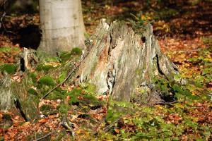 Unterm alten Baumstumpf herrscht noch Leben.