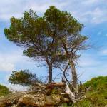 Menorca_Baum_Strand